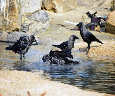 7 crows found dead in Karnataka,