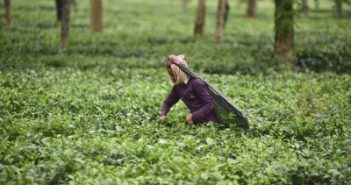 India, other tea-producing