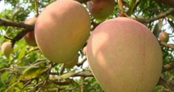 Mangoes - the 'king of fruits' is an intrinsic part of Maharashtra's culture