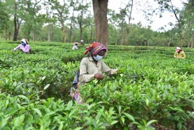 Assam tea gets record prices